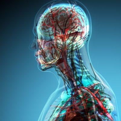 Gehirn innere Ansicht